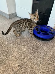 1 Bengale kitten Suchen ein