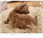 Bengal Kitten suchend zuhause