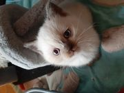 BKH Kitten mit wunderschönen blauen
