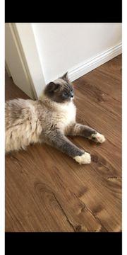 Ragdoll Katze Minou