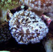 Meerwasser- Korallenableger - Pilzlederkoralle Sarcophyton glaucum