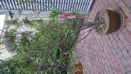 Pflanzen - Yukapalmen und große Oleander 1