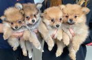 4 zuckersüße Zwergspitzbabys suchen liebevolles