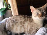 Bengalen Mädchen Snow Lynx 4