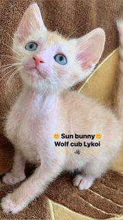 Werwolf Baby Kater Lykoi ist