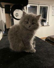 BKH Kitten Britisch Kurzhaar Abgabe