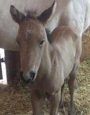 Quarter Horse Hengst Fohlen Cowhorse