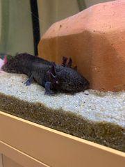 Axolotl Eier oder schon geschlüpft