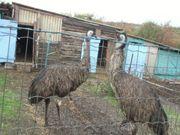 EMU Hahn und Henne