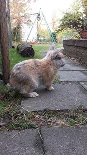 liebenswertes Kaninchen zu verschenken