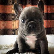 Choco Welpe der französischen Bulldogge