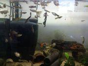 Aquarium Fische Guppy