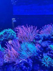 Meerwasser Koralle Kupferanemone Blasenanemone Rot