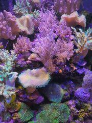 meerwasser korallenableger korallen