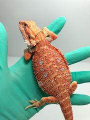Bartagamen Weibchen orange Hypo 66