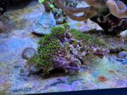 BRIAREUM SP Koralle GREEN Grünes