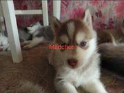 Reinrassige Siberian Husky Welpen suchen
