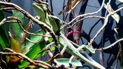 Laemanctus longipes Kronenbasilisken