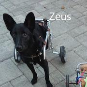 Zeus geb 2018 Rollihund sucht