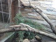 Omanosaura jayakari Omaneidechse Nachzuchten