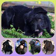 Wunderschöne Hündin Shabby 8 Monate