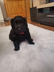 2 Labrador Welpen suchen DRINGEND