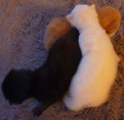 Ragdoll Norweger Edelmix Kitten