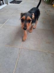 Yorkshire Terrier MiniPinscher Mix-Welpen abzugeben