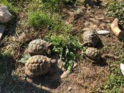 Suchen weibliche griechische Landschildkröten