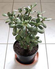 Geldbaum Pfennigbaum Crassula Ovata