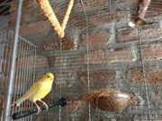 kanarienvogel mädchen