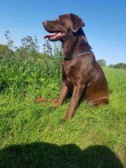 Anfragestopp Wurfankündigung Labrador Welpen ab