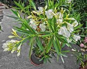 weisser Oleander 130 cm hoch