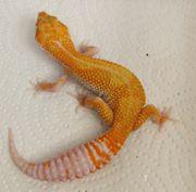 Leopardgeckos 1 0 männl NZ