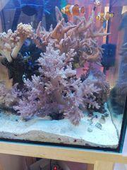 Keniabäumchen XXL Weichkoralle Meerwasser