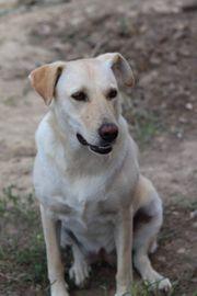 Labrador Mix Bella sucht ihre