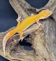 Leopardgecko Mandarine Tangerine TA NZ