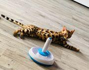 Bengal Katze mit Zubehör