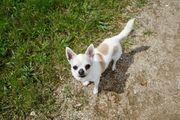 Daffy Chihuahua Hündin sucht ruhiges
