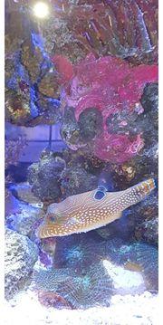 Sattel-Spitzkopfkugelfisch abzugeben