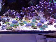Korallen mit Versand LPS SPS