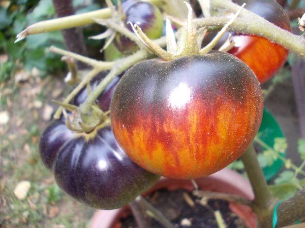 Tomatensamen In Rengsdorf Pflanzen Kaufen Und Verkaufen Uber
