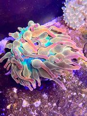 Meerwasser Koralle Anemone Sunburst Blasenanemone