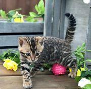 Bengalische Kätzchen ab sofort erhältlich