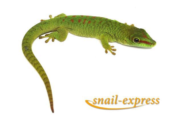 Phelsuma grandis - großer Madagaskar Taggecko