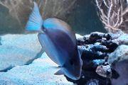 Acanthurus mata Augenfleck-Doktorfisch Meerwasser