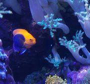 Orangerücke-Zwergkaiserfisch abzugeben