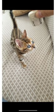 Bengal kitten world champion linie