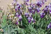 Schwertlilien Iris Stückpreis 1Euro noch