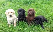 Wunderschöne Labrador Welpen in Creme